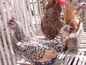 Ayam Hias -  Ayam Batik Canada indukan 1