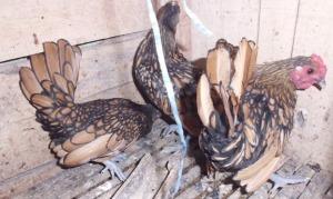 Ayam Hias - Ayam Batik Canada Indukan
