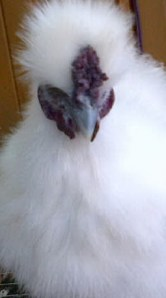 Ayam Kapas (8)