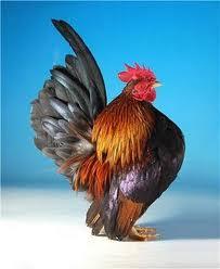 Ayam Serama