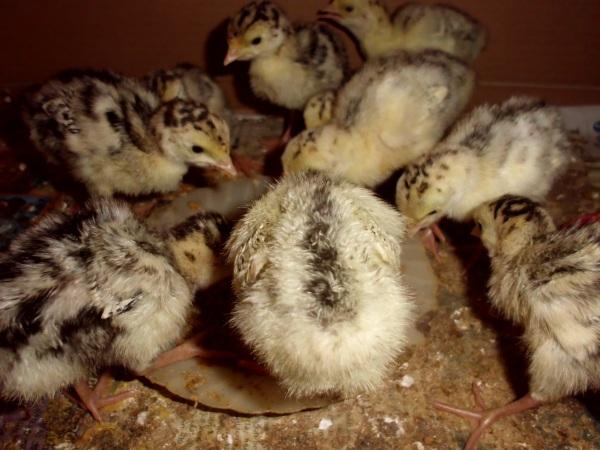 1. Ayam Kalkun DOC