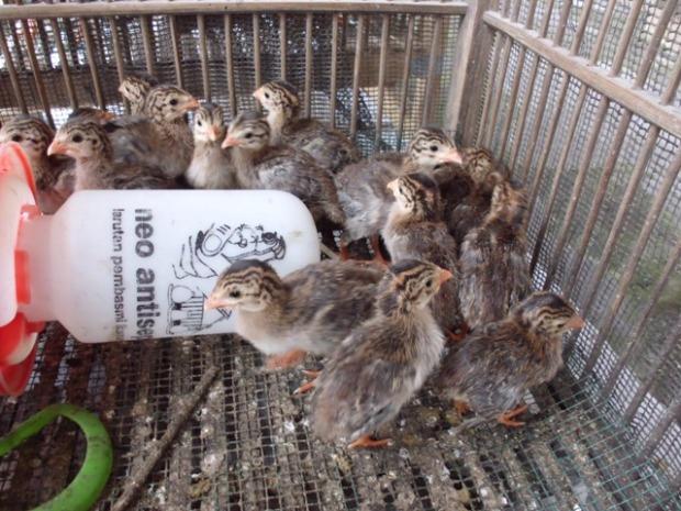 1. Ayam Mutiara DOC