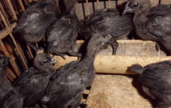 2. Ayam Cemani 1,5 bulan
