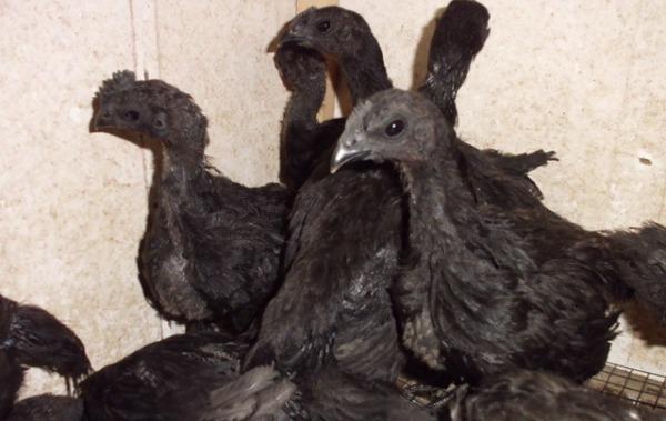 3. Ayam Cemani 2 bulan