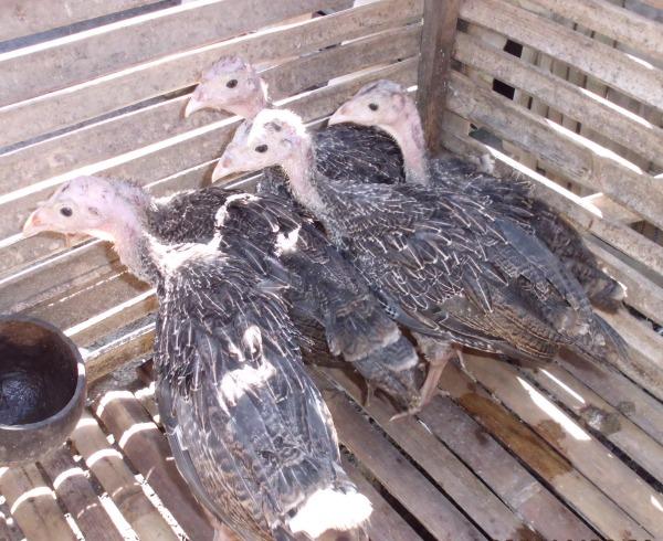 3. Ayam Kalkun 2 bulan (2)