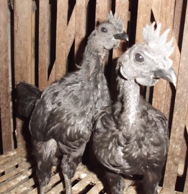 Anakan Ayam Cemani