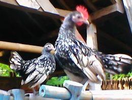 Ayam Batik Ital m