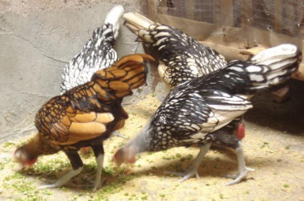 Ayam Batik Itali 1