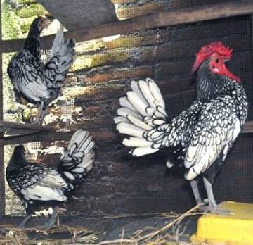 Ayam Batik Itali a
