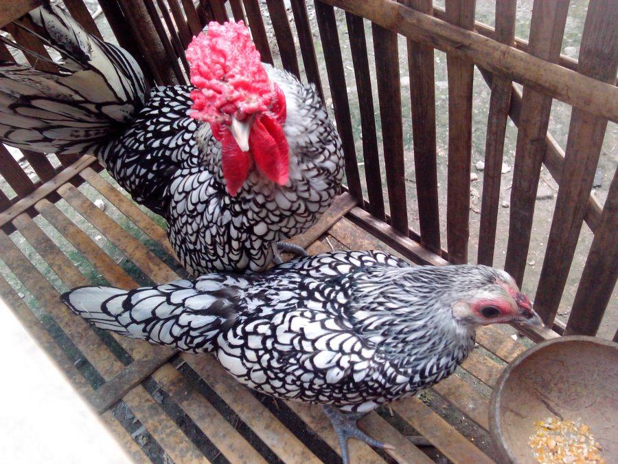 Ayam Batik Itali Indukan (2)