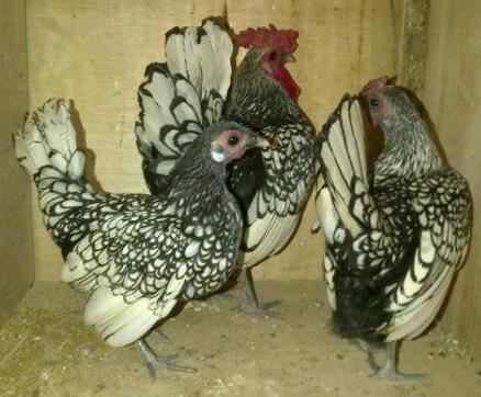 Ayam Batik Itali j
