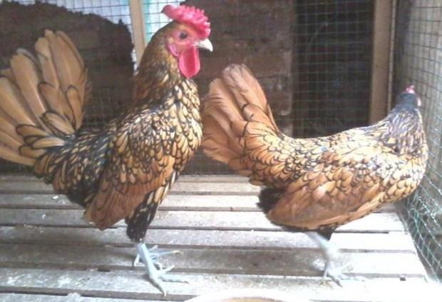 Ayam Batik Kanada 1