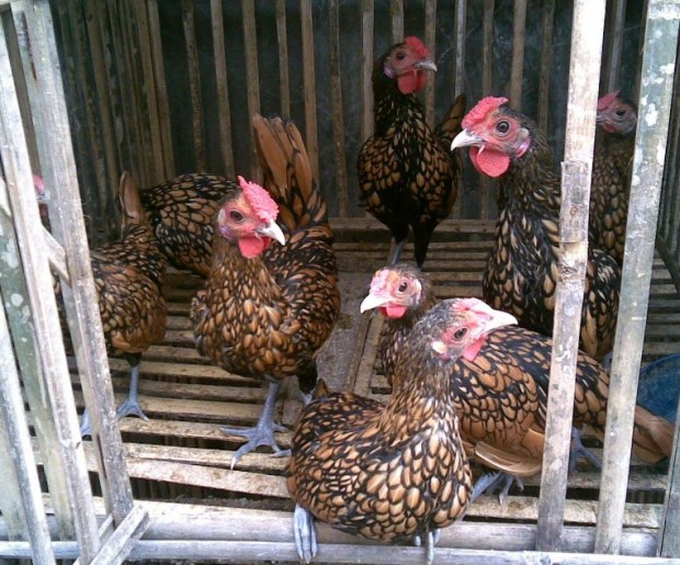 Ayam Batik Kanada 2 (2)