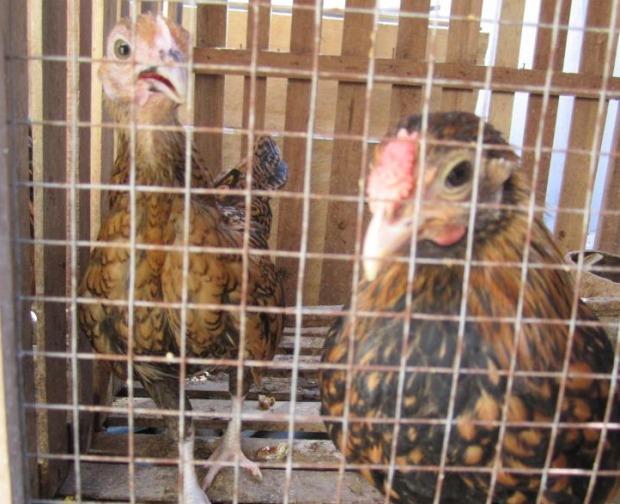 Ayam Batik Kanada 4 bulan