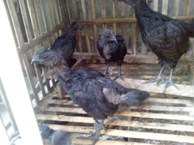 Ayam Cemani (10)
