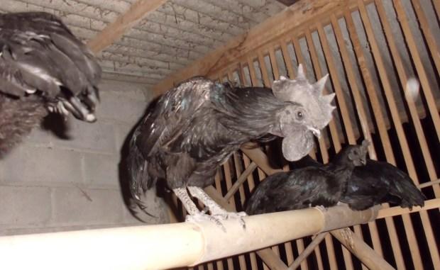 Ayam Cemani (4)
