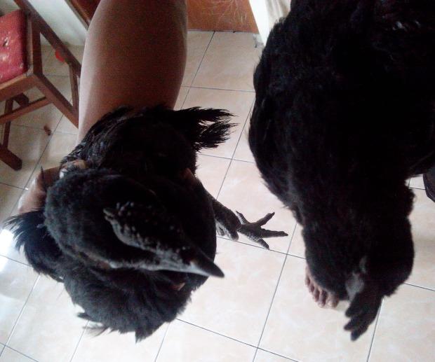 Ayam Cemani Jengger Telon(8)