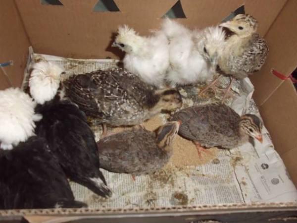 Ayam Kapas, Ayam Polan, Ayam Mutiara usia 1 bln