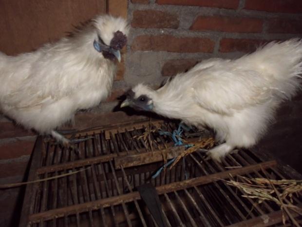 Ayam Kapas Indukan 5