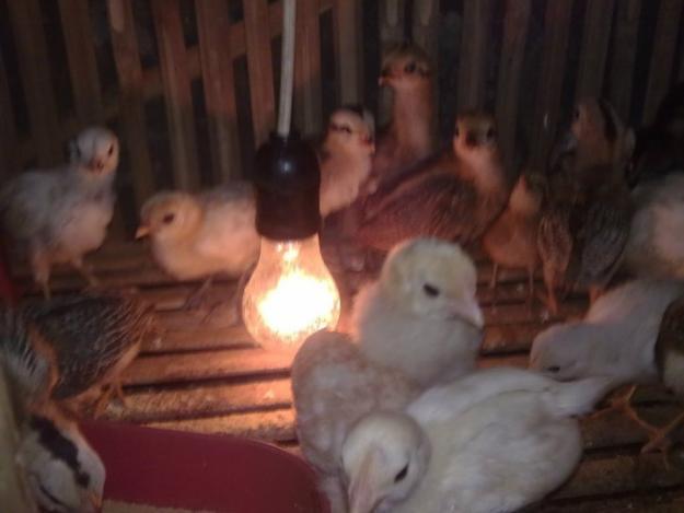 Ayam Ketawa (2)