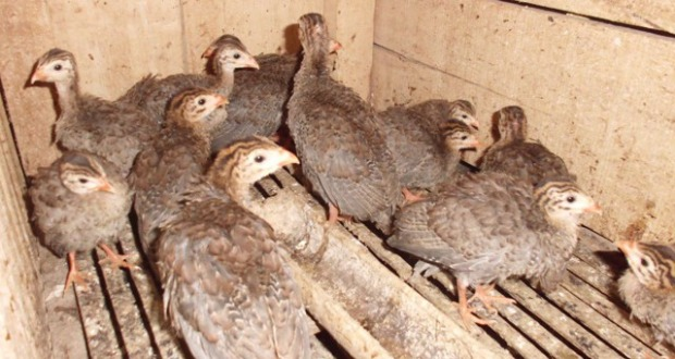 Ayam Mutiara 1,5bln