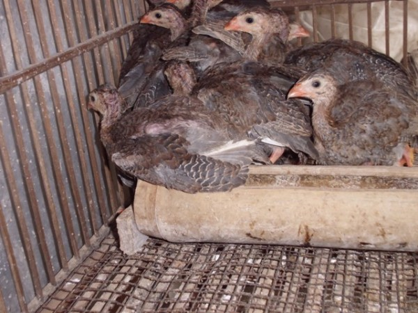 Ayam Mutiara 2 bln (2)