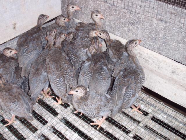 Ayam Mutiara 2 bln