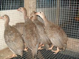 Ayam Mutiara (6)