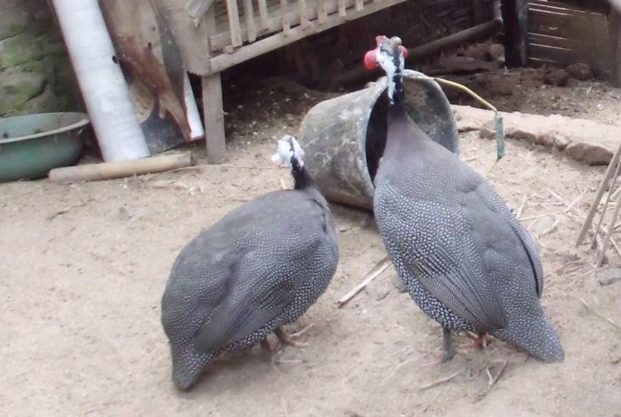 Ayam Mutiara (7)