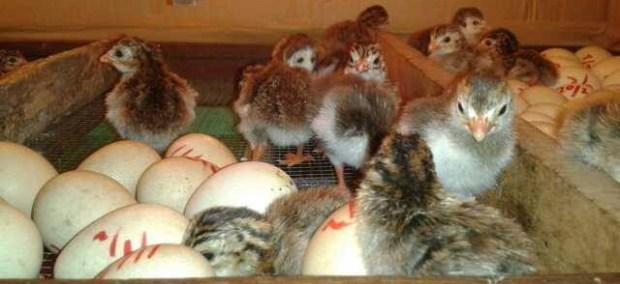 Ayam Mutiara Baru Menetas
