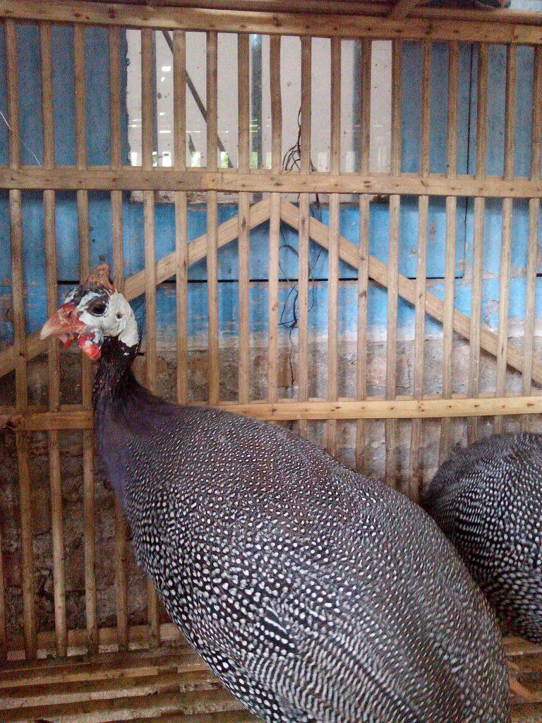 Ayam Mutiara Indukan (2)