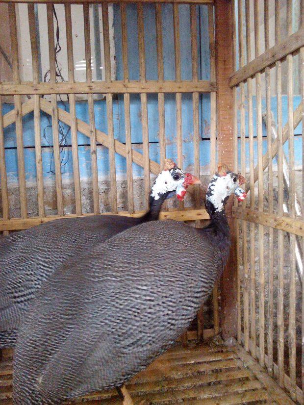 Ayam Mutiara Indukan (6)