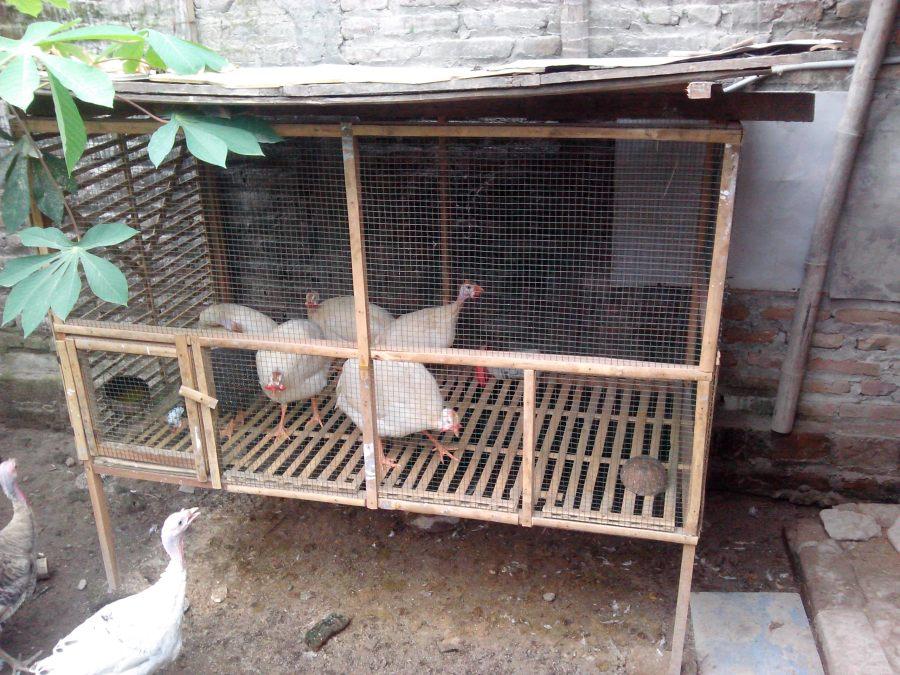 Ayam Mutiara Putih (3)