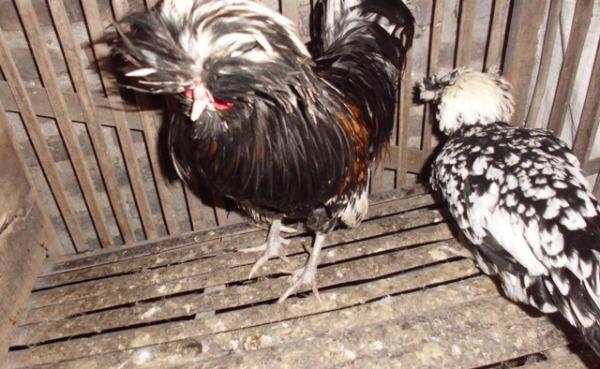 Ayam Polan (13)