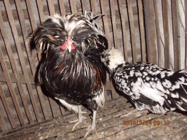 Ayam Polan (14)