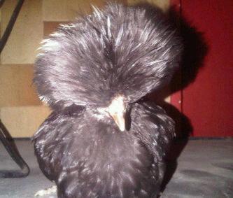 Ayam Polan (19)