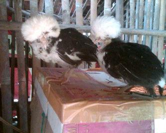 Ayam Polan (20)