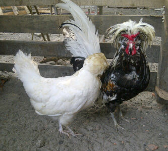 Ayam Polan (25)