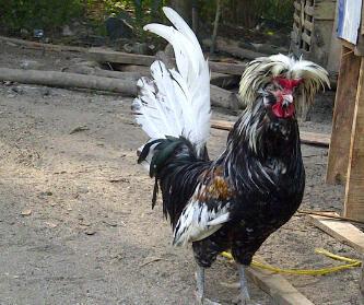 Ayam Polan (27)