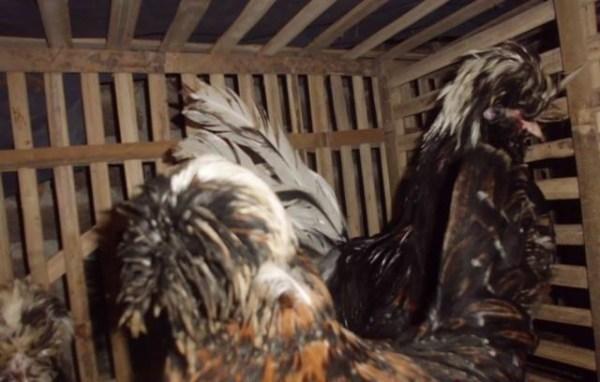 Ayam Polan (32)