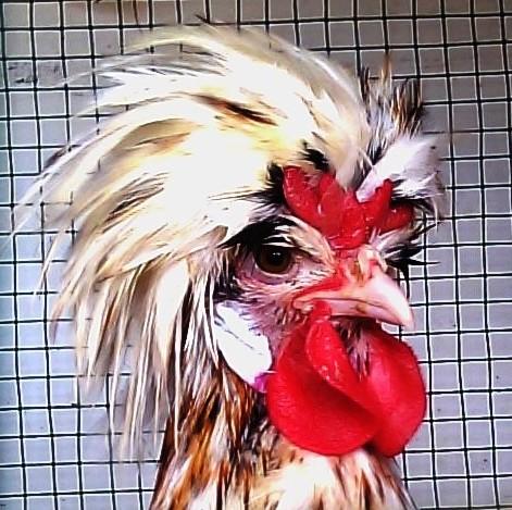 Ayam Polan tanduk remaja