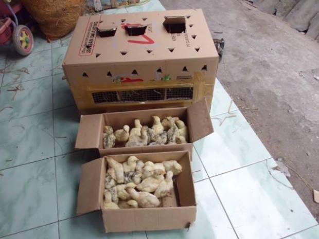 DOC Ayam Kalkun