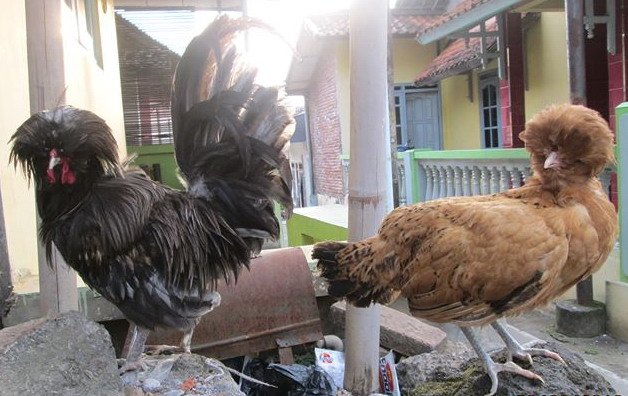 Indukan Ayam Polan