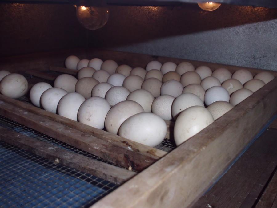 Telur (2)