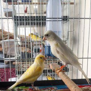 Kenari, kenari bertelur, kenari bertelur tanpa kawin, jarak kenari bertelur lagi, jual burung kenari