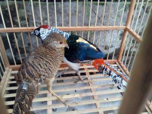 Lady amherst pheasant, Harga ringneck pheasant, harga anakan ringneck pheasant, harga golden pheasant, jual ringneck pheasant