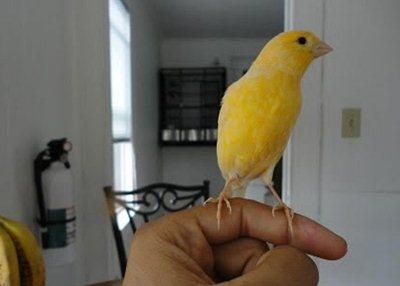 Burung Kenari Jinak