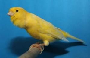 Kenari, Burung Kenari, Kicau Kenari, Suara Kenari, Jenis Kenari, Ternak Kenari, Jual Burung Kenari, Harga Burung Kenari