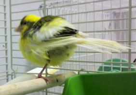 Burung Kenari yang Sakit