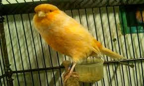 Burung kenari, kenari, ciri kenari stres, tanda kenari stres, cara mengatasi kenari macet bunyi, kicau kenari, ternak kenari